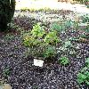 CorylopsisPauciflora.jpg 1024 x 768 px 223.51 kB
