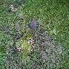 CorylopsisWillmottiaeSpringPurple.jpg 1232 x 924 px 474.63 kB