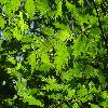 CorylusAvellanaHeterophylla2.jpg 1219 x 914 px 267.16 kB