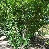 CorylusAvellanaHeterophylla.jpg 681 x 908 px 308.39 kB
