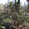 CorylusAvellanaTortuosa.jpg 588 x 784 px 192.51 kB