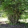CorylusAvellana.jpg 576 x 768 px 166.78 kB