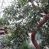 CorymbiaFicifolia2.jpg 681 x 908 px 408.34 kB