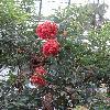 CorymbiaFicifolia5.jpg 720 x 960 px 454.29 kB