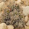 CorynopuntiaParishii.jpg 800 x 600 px 443.48 kB