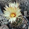 CoryphanthaPectinifera.jpg 898 x 905 px 321.16 kB