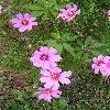 CosmosBipinnatus2.jpg 615 x 820 px 168.75 kB