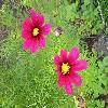 CosmosBipinnatus5.jpg 1024 x 768 px 164.18 kB