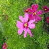 CosmosBipinnatus6.jpg 1024 x 768 px 193.78 kB
