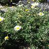 CotaTinctoriaLemonIce.jpg 678 x 908 px 455.74 kB