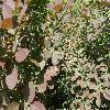 CotinusCoggygriaRoyalPurple2.jpg 1127 x 845 px 233.43 kB