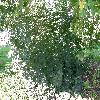 Cotinus.jpg 1127 x 845 px 325.55 kB