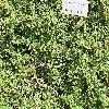 CotoneasterBuxifoliusNana.jpg 1024 x 768 px 342.15 kB