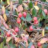 Cotoneaster.jpg 1127 x 845 px 156.86 kB