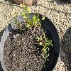 CotulaCoronopifolia.jpg 1167 x 875 px 374.88 kB