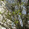 Crataegus9.jpg 1110 x 833 px 335.09 kB
