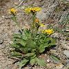 CrepisChrysantha.jpg 532 x 800 px 313.08 kB