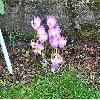 CrocusAlbiflorus.jpg 1024 x 872 px 340.83 kB
