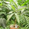 CryosophilaStauracantha.jpg 615 x 820 px 114.96 kB