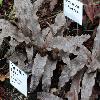 CryptanthusDianae.jpg 1024 x 768 px 207.72 kB
