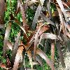 Cryptanthus.jpg 1127 x 845 px 211.5 kB