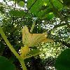 CucurbitaMaxima2.jpg 665 x 924 px 145.23 kB