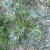 CucurbitaPepoGiromontiina.jpg 1127 x 845 px 269.16 kB