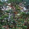 CunninghamiaLanceolata2.jpg 681 x 908 px 281.8 kB