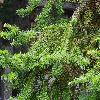 CunninghamiaLanceolata3.jpg 1024 x 768 px 303.88 kB