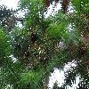 CunninghamiaLanceolata4.jpg 1219 x 914 px 331.25 kB