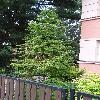 CunninghamiaLanceolata7.jpg 720 x 960 px 430.28 kB