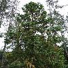 CunninghamiaLanceolata.jpg 720 x 960 px 499.27 kB