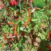 CupheaIgnea2.jpg 1127 x 845 px 131.39 kB