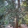 CupressusBakeri2.jpg 1219 x 914 px 319.69 kB