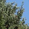 CupressusBakeri4.jpg 1219 x 914 px 469.26 kB