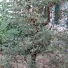 CupressusDupreziana2.jpg 642 x 856 px 219.54 kB