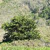 CupressusMacrocarpa4.jpg 1024 x 768 px 126.92 kB
