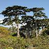 CupressusMacrocarpa.jpg 600 x 800 px 404.08 kB