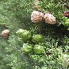 CupressusSempervirens2.jpg 576 x 768 px 131.51 kB