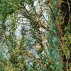 CupressusSempervirensFastigiata2.jpg 1024 x 768 px 277.98 kB