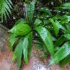 CurculigoLatifolia.jpg 1024 x 768 px 216.62 kB
