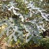 CussoniaPaniculata2.jpg 678 x 908 px 382.95 kB