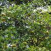 CydoniaOblonga2.jpg 720 x 960 px 533.38 kB