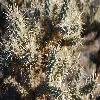 Cylindropuntia3.jpg 1201 x 804 px 249.55 kB