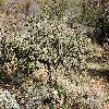 CylindropuntiaAcanthocarpa4.jpg 1201 x 804 px 422.79 kB