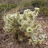 CylindropuntiaBigelovii.jpg 675 x 900 px 358.77 kB