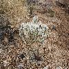 CylindropuntiaEchinocarpa.jpg 1201 x 804 px 383.72 kB