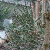 CylindropuntiaKleiniae2.jpg 720 x 960 px 438.94 kB