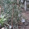 CylindropuntiaKleiniae.jpg 1297 x 899 px 647.19 kB