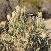 CylindropuntiaRamosissima4.jpg 903 x 600 px 401.96 kB